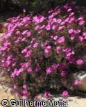 Delosperma brunnthaleri