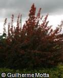 Holmskioldia sanguinea