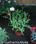 Argyranthemum frutescens ´Bridesmaid´