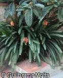 Clivia nobilis