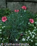 Dianthus chinensis ´Ruby Sparkles´