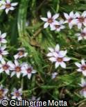 Sisyrinchium micranthum