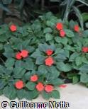 Impatiens walleriana ´Super Elfin Bright Orange´