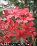 Nerium oleander ´Jannoch´