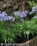 Agapanthus praecox subsp. minimus ´Adelaide´
