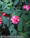Impatiens walleriana ´Rose Star´