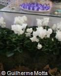 Cyclamen persicum var. persicum ´Pure White Compact´