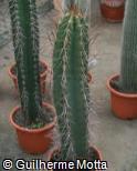 Neoraimondia herzogiana