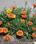 Gazania rigens ´Daybreak Bright Orange´