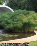 Cyperus giganteus