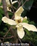 (MAAC2) Magnolia acuminata ´Goldstar´