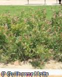 Callistemon viminalis ´Little John´