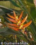 Heliconia aurorea