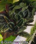 Calathea roseopicta ´Eclipse´