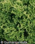 Chamaecyparis pisifera ´Plumosa Aurea Nana´