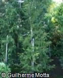 Chamaecyparis lawsoniana ´Allumii Aurea´