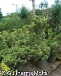 Juniperus chinensis ´Stricta Alba´
