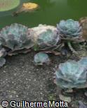 Echeveria gibbiflora ´Blue Waves´