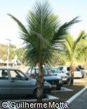 Cocos nucifera ´Dwarf Green´