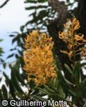 Vochysia thyrsoidea