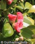 Camellia  ´Black Lace´