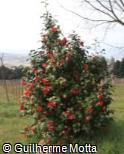 Camellia japonica ´Unryu´