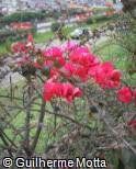 Bougainvillea spectabilis ´Ambiance´