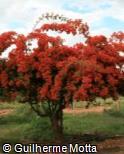 Bougainvillea spectabilis ´Tomato Red´