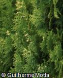 Platycladus orientalis ´Aurea Nana´