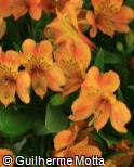 Alstroemeria  ´Salmon Queen´