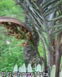 Syagrus glaucescens