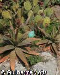 Aloe macrocarpa