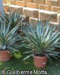 Yucca gloriosa ´Variegata´