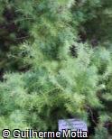 Cryptomeria japonica ´Elegans´