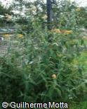 Buddleja × weyeriana ´Sungold´