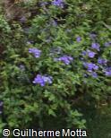 Achetaria azurea