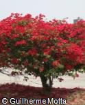 Bougainvillea spectabilis ´Crimson Red´