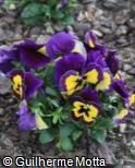 (VIWI15) Viola x wittrockiana ´Joker Violet Gold´
