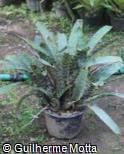 (VRGU) Vriesea guttata