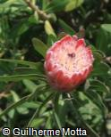 (PREX) Protea eximia