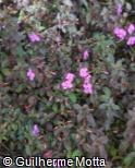 Centradenia grandifolia