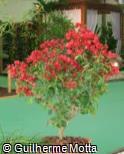 Bougainvillea spectabilis ´Don Fernando´