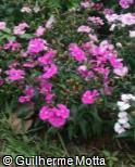 Dianthus chinensis ´Neon Star´