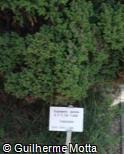 Cryptomeria japonica ´Lobbii´