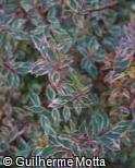 Abelia x grandiflora ´Mardi Gras´