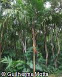 Pinanga caesia
