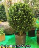 Buxus sempervirens ´Rotundifolia´