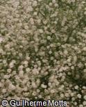 Gypsophila paniculata ´Bambino´