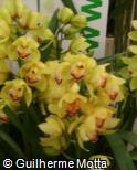 Cymbidium  ´Green Orb´