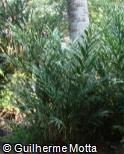 Alpinia vittata
